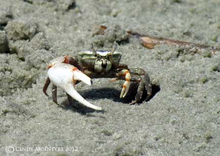 giant freshwater crab - photo #39