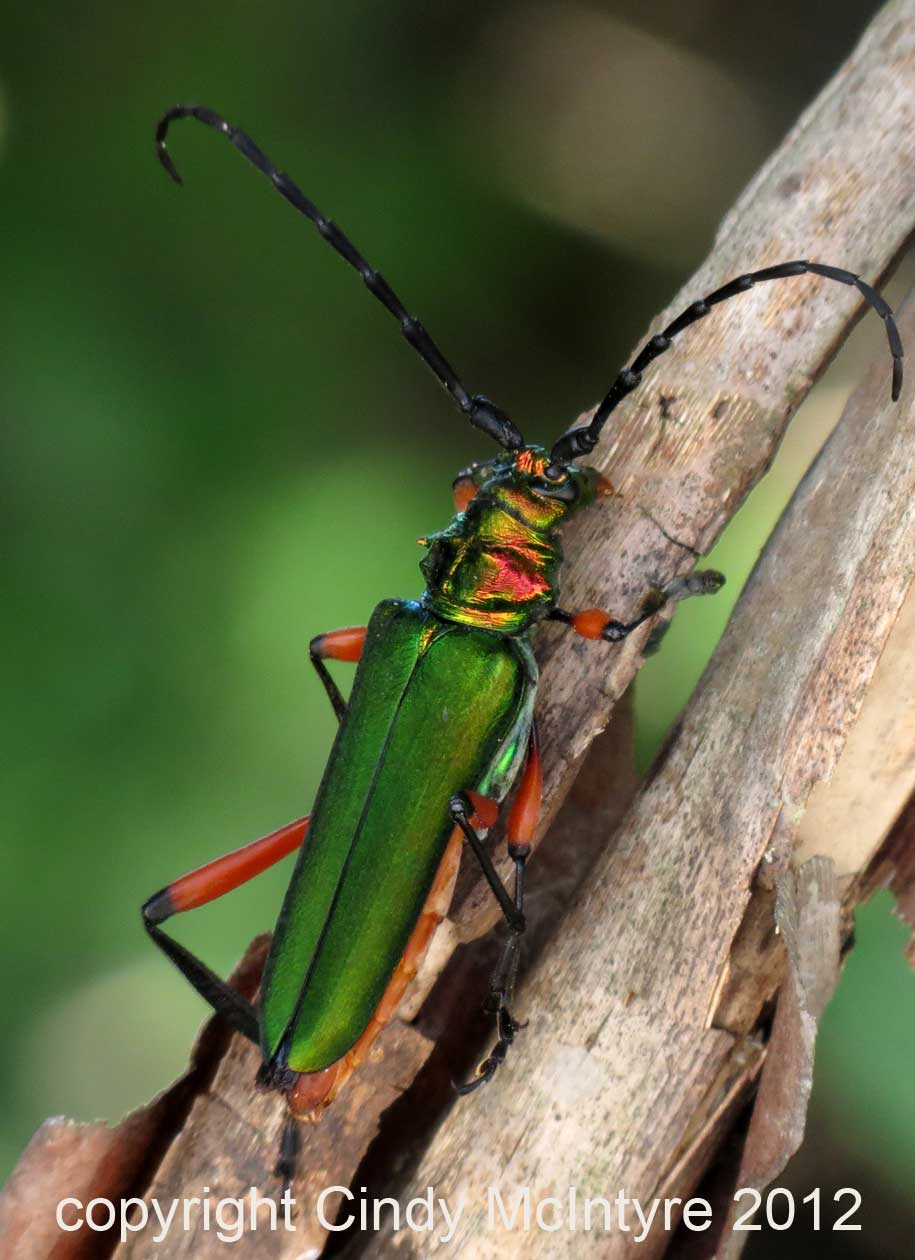 Colorful horned beetle - photo#12