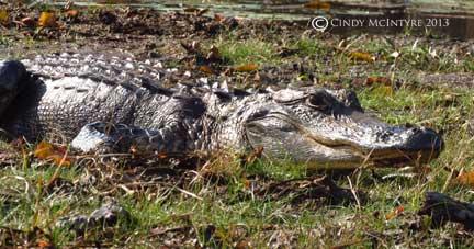 Alligator, Chesser Prairie, Okefenokee NWR, GA