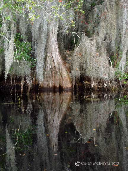 Pond cypress and Spanish moss