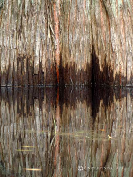 Fluted trunks of pond cypress