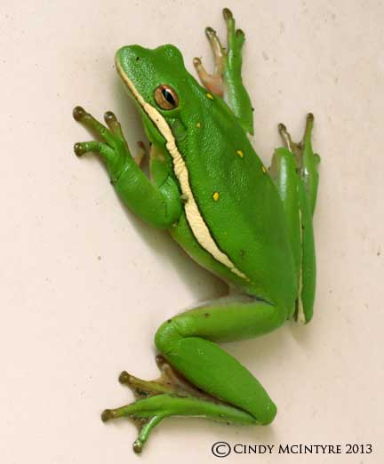 Green Tree Frog - it was in the outhouse!
