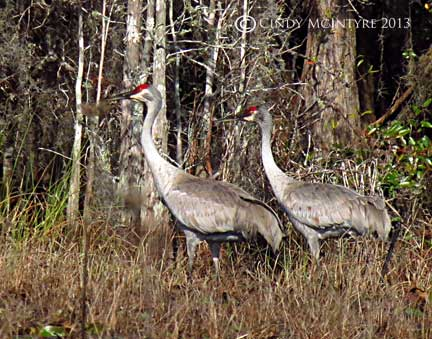 Sandhill Cranes - they are usually seen in pairs as they mate for life