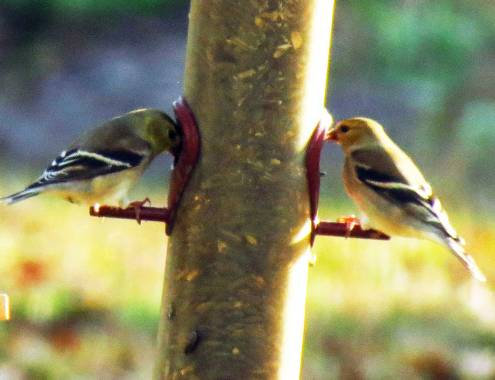 American goldfinches wintering in Georgia