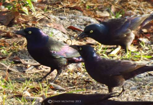 Common Grackles.  These guys make a lot of noise, and sometimes are accompanied by red-winged blackbirds