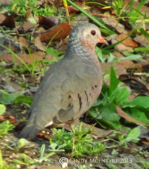 "Common ground dove - notice the ""scaling"" of the feathers."
