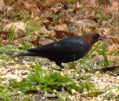 Cowbird male - these birds lay eggs in those of other birds, often to the detriment of the unwilling host's own young.