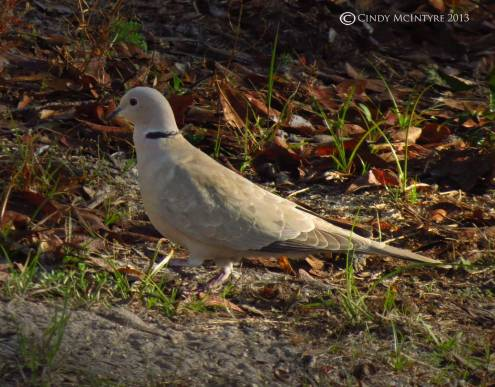 Eurasian collared dove - the name tells you it's an import.  There's one pair that visits my yard.