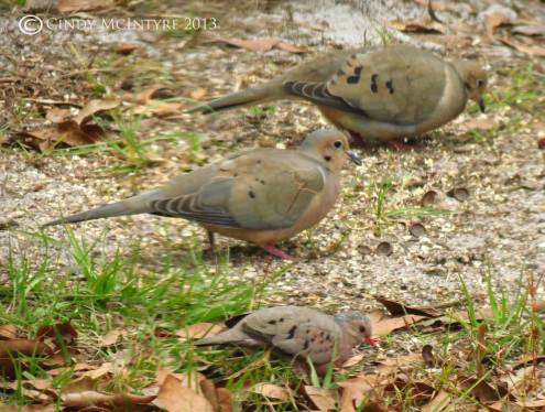 Mourning and common ground doves - notice the latter are about half the size of the former.  They are fast little fliers, too.