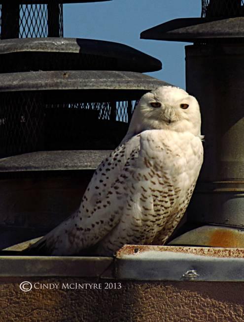Snowy Owl atop a beachfront condo in Tybee Island, GA