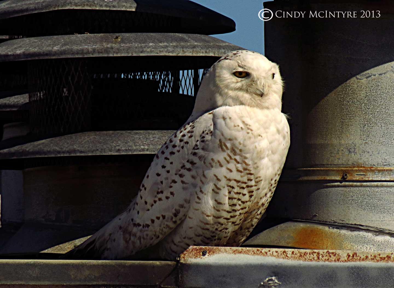 Snowy Owl On The Georgia Coast Cindy Mcintyre S Blog