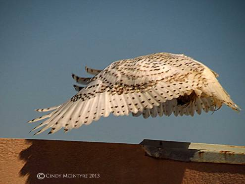 Snowy-Owl,-Tybee-Island,-GA-28-copy