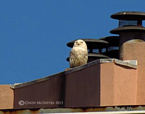 Snowy-Owl,-Tybee-Island,-GA04-copy