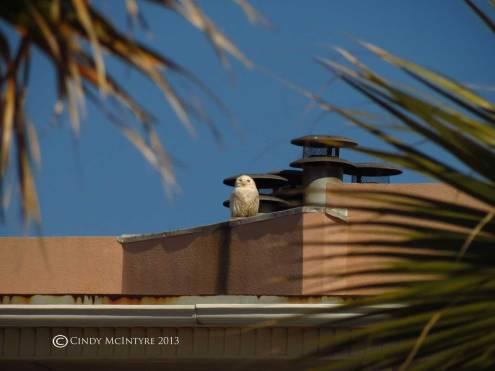 Snowy-Owl,-Tybee-Island,-GA15-copy