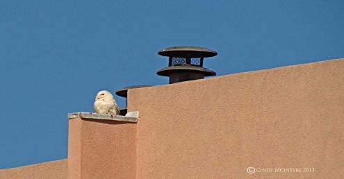 Snowy-Owl,-Tybee-Island,-GA16-copy