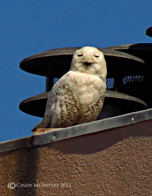 Snowy-Owl,-Tybee-Island,-GA21-copy