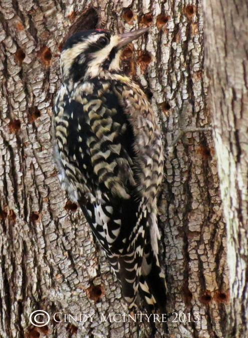 Yellow-bellied sapsucker, immature female with sapwells