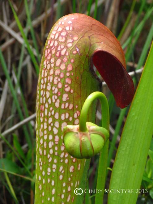 Hooded Pitcher Plant and flower bud