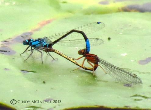 Lilypad Forktails mating