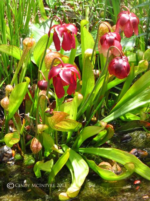 Parrot Pitcher Plant in bloom