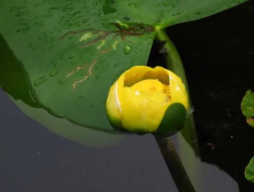Spatterdock flower - does it look like a bonnet?