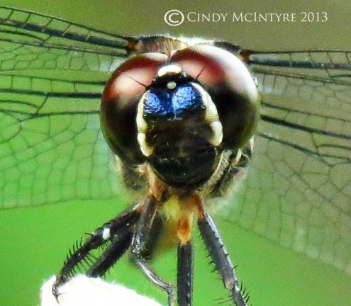 Blue dasher female, closeup of eyes