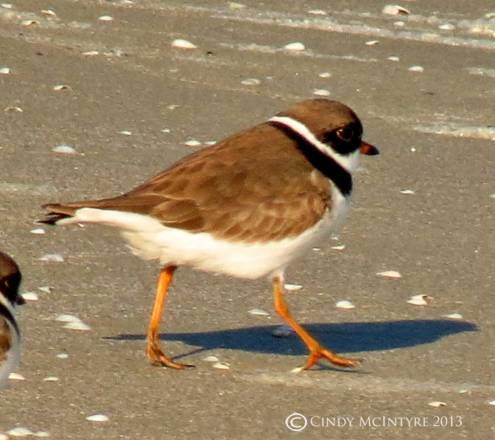 Semipalmated Plovers look like Wilson's Plovers, but their bills are shorter and not all black.