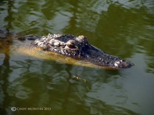 Mama Gator keeps watch over her babies