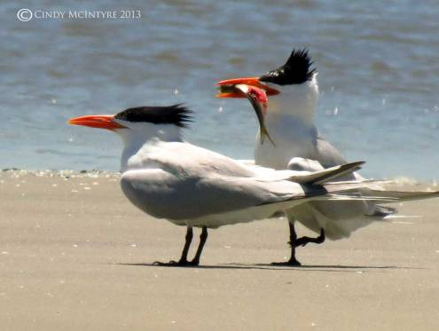 "Royal Terns - ""Won't you be my baby?"""