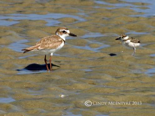 Male Wilson's Plover and newborn chick