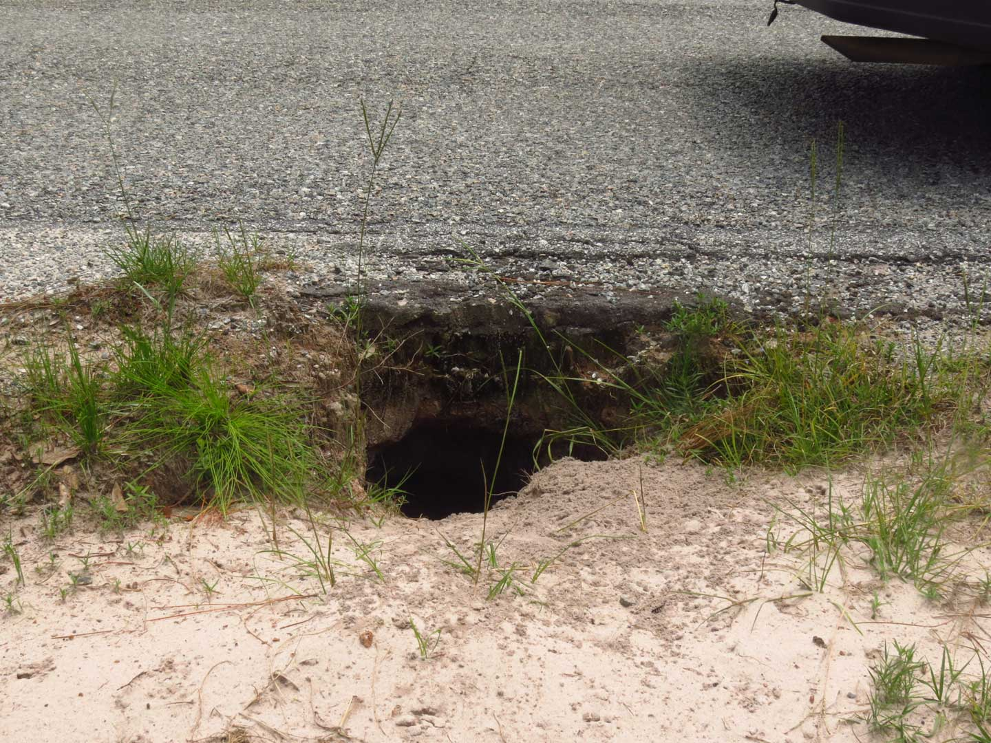 Gopher Tortoise burrow under the entrance road at Okefenokee NWR