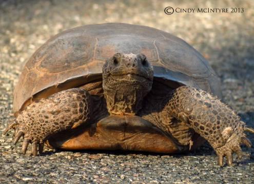 """Smiling"" Gopher Tortoise, Okefenokee NWR"