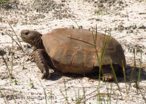 Gopher Tortoise, Okefenokee NWR
