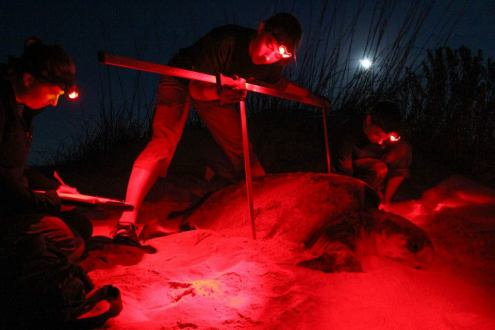 Loggerhead Sea Turtle laying eggs on Jekyll Island - photo from GSTC Facebook page