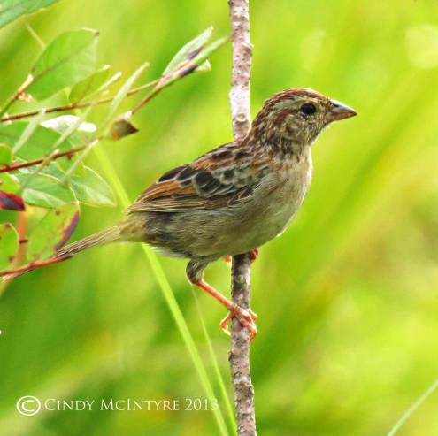 Bachman's Sparrow juvenile