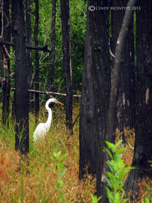 Great egret and burned trees