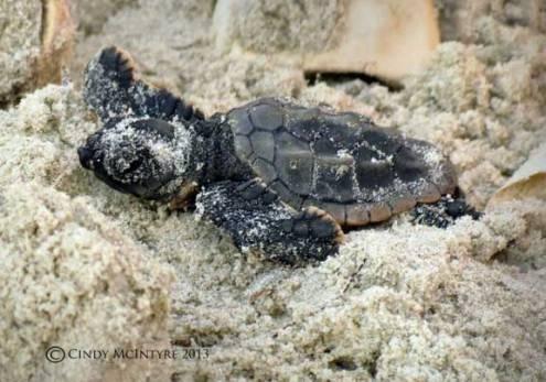 Newly emerged sea turtle hatchling