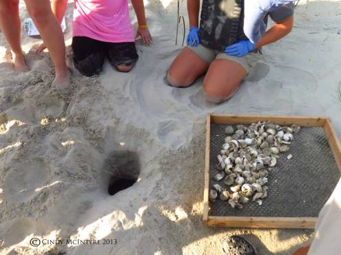 Loggerhead nest dug out by turtle center staff, with hatched eggs in the box