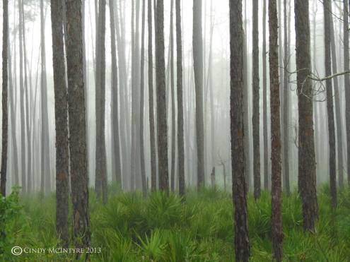 Rain in the burnt pines, Okefenokee