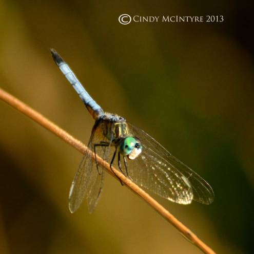 Blue Dasher male