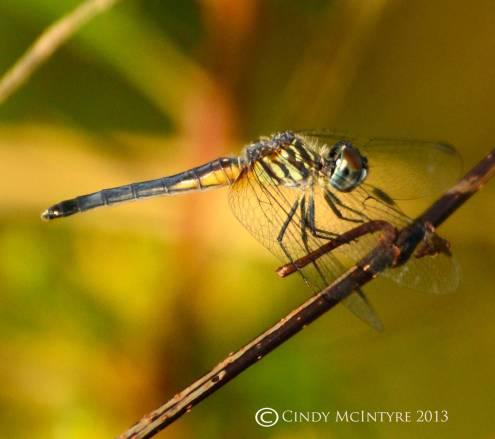 Blue Dasher, old female