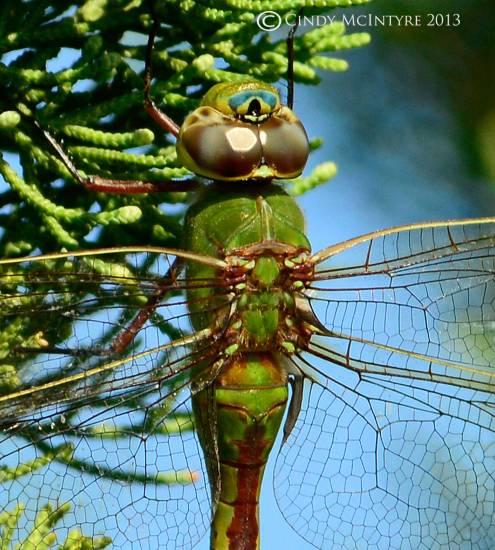 Common Green Darner female