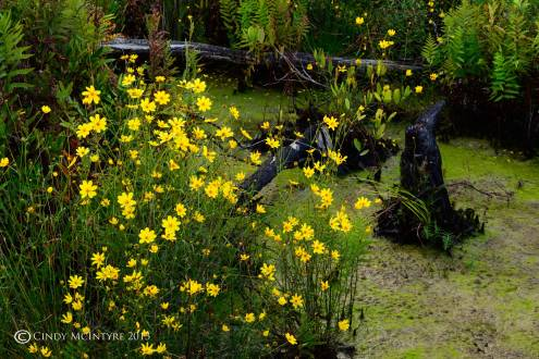Coreopsis and burned cypress knees