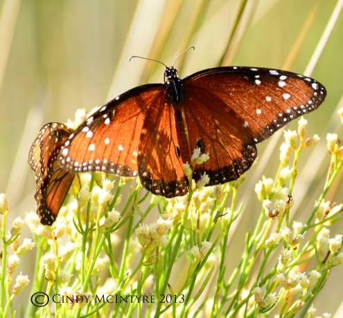 Queen butterfly, male