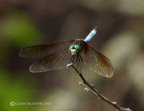 Blue Dasher dragonfly, male