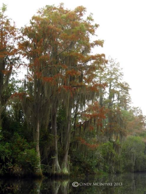 November cypress, Suwannee Canal