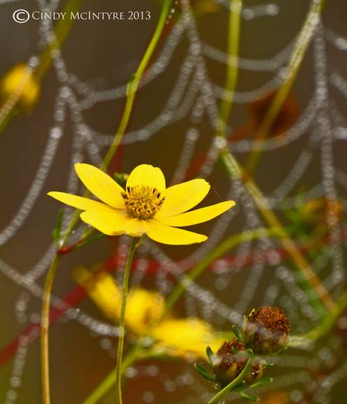 Tickseed sunflower backdropped by spider webs