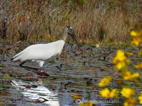 Wood Stork, Mizell Prairie
