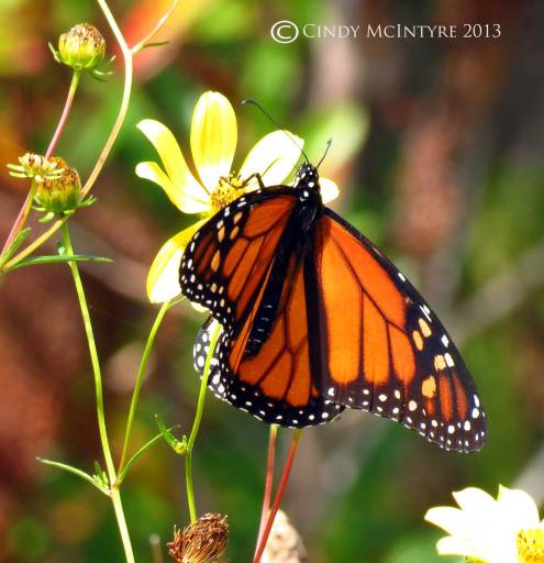 Monarch butterfly on tickseed sunflower