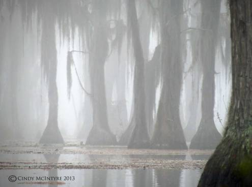 Cypress-in-fog,-Banks-Lake-NWR,-GA-(32)-copy